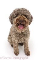 Lagotto Romagnolo sitting