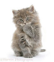 Maine Coon kitten, 7 weeks old, with paw over mouth