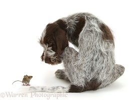 Spinone pup and mouse