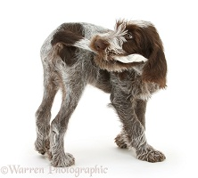 Spinone pup chasing and catching his tail