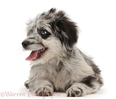 Blue merle Cadoodle puppy looking to side