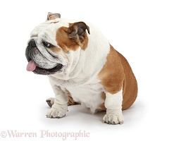 Bulldog with tongue out and turning to side