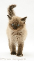 Chocolate Birman-cross kitten walking