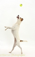 Jack Russell leaping to catch a ball