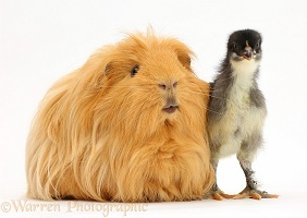 Ginger Guinea pig and chick