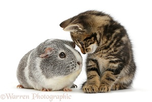 Tabby kitten and Guinea pig