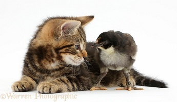 Tabby kitten and chick
