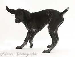 Mostly black pointer puppy turning in play