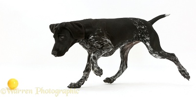 Mostly black pointer puppy chasing a ball