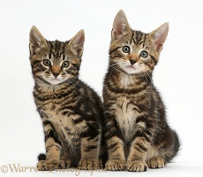 Two tabby kittens sitting
