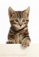 Tabby kitten with paws over
