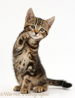 Tabby kitten waving