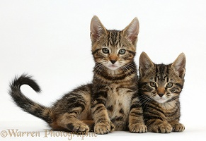 Two tabby kittens