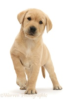 Cute Yellow Labrador puppy standing with raised paw