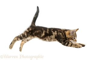 Tabby kitten jumping across