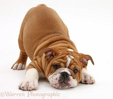 Playful Bulldog pup, 11 weeks old, in play-bow