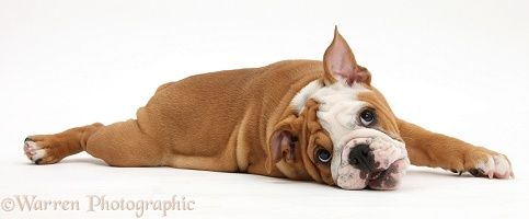 Playful Bulldog pup, 11 weeks old, lying stretched out