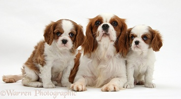 Blenheim Cavalier King Charles Spaniel mother and pups
