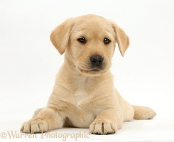Cute Yellow Labrador puppy lying