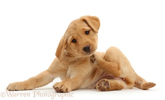 Cute Yellow Labrador puppy scratching