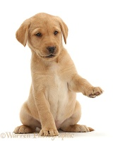 Cute Yellow Labrador puppy with raised paw