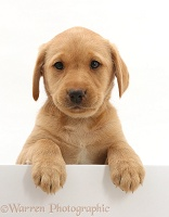 Cute Yellow Labrador puppy with paws over