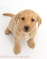 Cute Yellow Labrador puppy