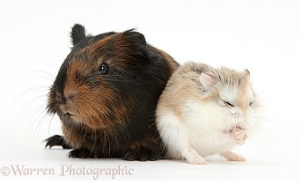 Baby Guinea pig and cute Roborovski Hamster