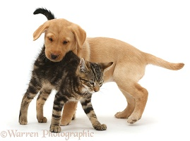 Tabby kitten with Yellow Labrador puppy