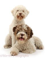 Two Lagotto Romagnolo bitches