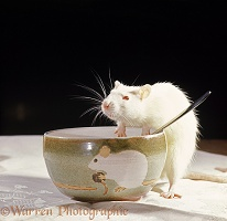 Albino rat on the table eating from a bowl