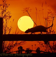 Brown Rat at sunset