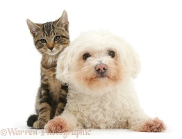 Tabby kitten and Bichon Frise