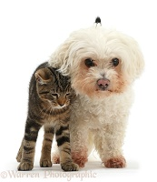 Tabby kitten rubbing against Bichon Frise
