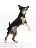 Tricolour Mini American Shepherd in dancing