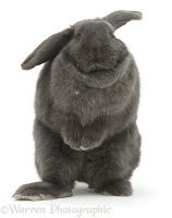 Blue grey lop rabbit standing up in a comical fashion