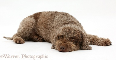 Lagotto Romagnolo lying with chin on the floor