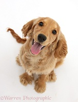 Golden Cocker Spaniel