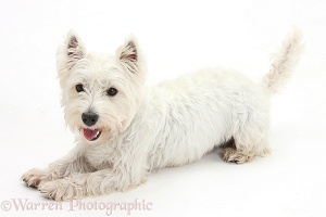 Westie lying with head up