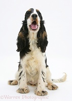 Tricolour English Cocker Spaniel