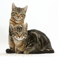 Tabby cats relaxing together