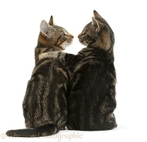 Tabby cats arm-in-arm