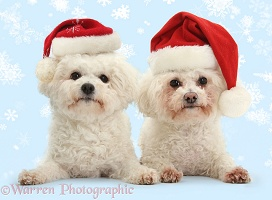Bichon Frises in Santa hats