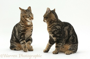 Tabby cats squaring up