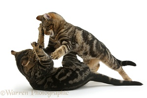 Tabby cats play-fighting