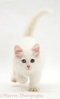 White kitten walking