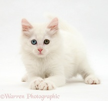 White kitten crouching