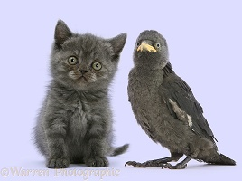 Grey kitten and baby Jackdaw