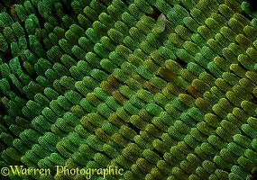 Scales one the wing of an Emerald Swallowtail butterfly