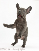 French Bulldog puppy jumping up